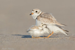 Seeking Warmth (Matt F.) Tags: bird piping plover shorebird pipingplover young portrait chick