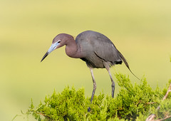 Little Blue Heron (tresed47) Tags: 2017 201707jul 20170703newjerseybirds birds canon7d content folder heron littleblueheron newjersey oceancity peterscamera petersphotos places takenby us ngc npc
