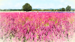 The harvest - impressions (Ruth Flickr) Tags: england magenta wick worcestershire colour confetti deep delphinium farm field flora flowers horticulture larkspur pink seasonal summer