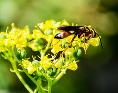 Great Golden Digger Wasp - (Sphex ichneumoneus)