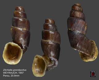 zilchiella grandiportus 2 perou 20mm9