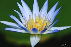 _52R5305 (Dream Delivered (Dreamer.Thanks for +6.000.000 vi) Tags: flower waterlily mixofflowers macroelsalvador onlythebestofflickr thebestofmimamorsgroups afpl15 groupecharlielevel12 diceshalloffame diceshof