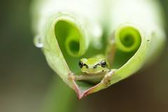 Happy Sunday! (keiko*has) Tags: 7dwf sunday fauna frog lotusleaf happysunday