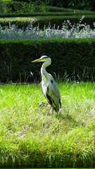 Blauwe Reiger (marieckejanssen) Tags: reiger blauwe birds animal vogel dier ardea cinerea grey heron graureiher blindphotographer