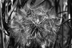 _MG_8069 (Detlef Dähne) Tags: garten oleander pusteblume sommer nahaufnahme fallschirm samen wiesenbocksbart