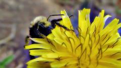 Bumbling around (TJ Gehling) Tags: insect hymenoptera bee apidae bumblebee yellowfacedbumblebee bombus bombusvosnesenskii plant flower weed asterales asteraceae oxtongue bristlyoxtongue picris maderaopenspace hillsidenaturalarea elcerrito pollen