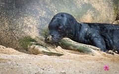 Rockys Pup (William Parenio) Tags: babymonkseal hawaiianmonkseal kaimanabeach monkseal monksealpup monksealrh58 monksealrocky nature oahu