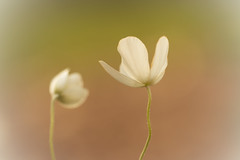 Shhhhh.... (Karl's Gal) Tags: karlsgal anemone flower simple summer