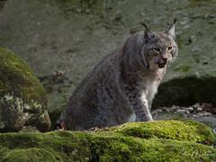 Eurasian lynx (Lothar Malm) Tags: eurasianlynx luchs lynx bigcats
