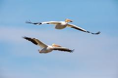 Flying Pairs (jeff_a_goldberg) Tags: americanwhitepelican wildlife nature bird birdinflight bif wisconsin pelecanuserythrorhynchos manitowocharbor lakemichigan manitowoc unitedstates us