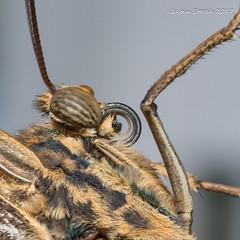Butterfly Eye (strjustin) Tags: butterfly insect macro beautiful eye bug