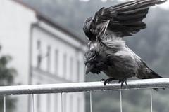 Wet craw :) (Mona_Oslo) Tags: aftertherain craw birds bird oslo urbannature nature monajohansson