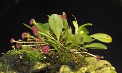 Miniature orchid (Platystele umbellata) (shadowshador) Tags: platystele umbellata miniature orchid neomura eukaryota archaeplastida plantae plant plants tracheobionta spermatophyta magnoliophyta liliopsida liliidae lilianae asparagales orchidaceae epidendroideae epidendreae pleurothallidinae taxonomy scientific classification biology botany wildlife life orchidology orchids jungle jungles rainforest rainforests