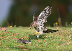 Cooper's hawk fledgling checking out a dead gopher (charlescpan) Tags: