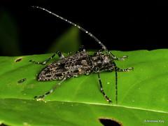 Longhorn Beetle, Psapharochrus sp.? Cerambycidae (Ecuador Megadiverso) Tags: andreaskay beetle cerambycidae coleoptera ecuador longhornbeetle psapharochrussp