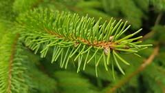 GREEN (Been Around) Tags: autriche natura rutzenmoos gemeinderegau grün green salzkammergut nadelbaum fichte nadeln oberösterreich baum tree europe upperaustria eu österreich austria