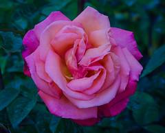 Troika rose (frankmh) Tags: plant flower macro rose troikarose krapperup krapperupcastlegarden skåne sweden outdoor