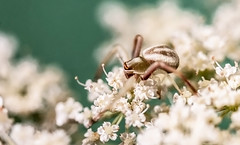 Spider (SC-Creations) Tags: macrophotography spider insect closeup summer garden nature