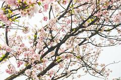 DSC_4435 (Frankie Tseng (法蘭基)) Tags: yms taipei taiwan flower flowers nikon cherryblossoms summer spring 2017 abstract blur bw bwphotography blackwhite yangmingshan 台北 櫻花 陽明山 台灣 抽象