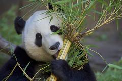 Xiao Liwu - San Diego Zoo (Rita Petita) Tags: xiaoliwu mrwu sandiegozoo sandiego california china panda giantpanda