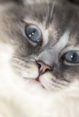 Scaramanga I (Matthew P Sharp) Tags: cat scaramnga portrait