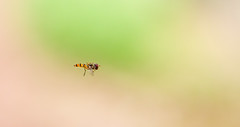 Hoverfly (Geolilli) Tags: fly hoverfly insect flying midair canon lens