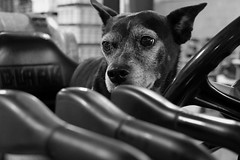 Mazie, at work. 13 (X70) (Mega-Magpie) Tags: fuji fujifilm x70 cute dog pet mazie forklift work il illinois dupage usa america bw black white mono monochrome clark