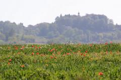 In Monferrato (STE) Tags: papaveri poppies paesaggio 300f4afs collina hill colline hills dof