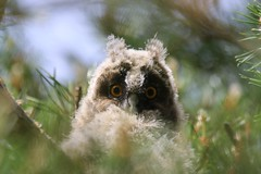 Long-eared owl (Juv.) (Zatanen) Tags: asiootus hornugle sarvipöllö longearedowl hornuggla bufopequeno buho hiboumoyenduc waldohreule birdsofprey rapace petolinnut rovfåglar rapaz rovfugler babyowl