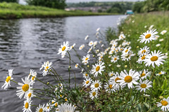 DSC- 0041 - Canalside Daisies (SWJuk) Tags: swjuk uk unitedkingdom gb britain england lancashire burnley home canal leedsliverpoolcanal towpath daisies oxeyedaisies grass verge water ripples fluttering breeze 2017 jun2017 spring nikon d7100 nikond7100 tokina1116 wideangle rawnef lightroom