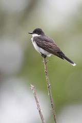 _53F9472 Eastern Kingbird (~ Michaela Sagatova ~) Tags: easternkingbird birdphotography canonphotography flycatcher michaelasagatova