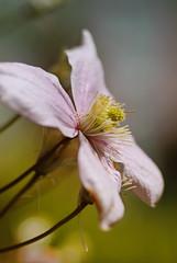 20170501_Jardins_secrets_Vaulx_Fl (34 sur 35) (calace74) Tags: 2017 rhonealpes fleurs france hautesavoie jardinssecrets macro vaulx