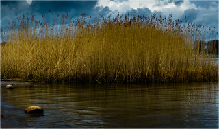 Reet schmiegt sich ans Ufer