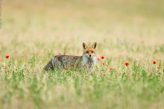 renard roux Vulpes Vulpes