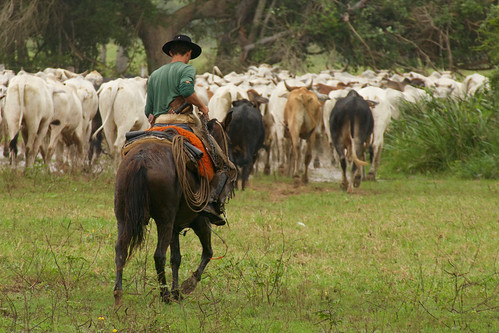 brazil-pantanal-caiman-lodge-herding-cattle-copyright-thomas-power-pura-aventura.jpg