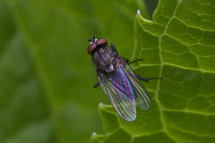Eyes and Wings (brucetopher) Tags: bug fly insect redeyes red eye iridescent shiny colorful stainedglass wings wing transparent translucent green leaf hydrangea plant outdoor garden 7dwf