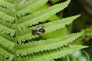 Gewone behangersbij  (Megachile versicolor)