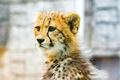 Cub Cheetah : チーターの赤ちゃん (Dakiny) Tags: 2017 summer june japan tokyo hino outdoor nature park city street zoo tamazoo creature animal mammal cheetah cub bokeh nikon d750 sigma apo 70200mm f28 ex hsm apo70200mmf28dexhsm sigmaapo70200mmf28dexhsm nikonclubit