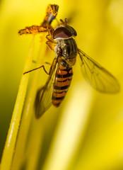 Marmalade Fly (Episyrphus balteatus) (markhortonphotography) Tags: marmaladefly stamen markhortonphotography nature flower hoverfly marmaladehoverfly insect daylily deepcut hemoracalis wildlife thatmacroguy surreyheath surrey episyrphusbalteatus yellow macro invertebrate
