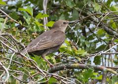 Starling ( Sturnus vulgaris ) Juvenile (Dale Ayres) Tags: starling sturnus vulgaris juvenile bird nature wildlife