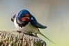 Rauchschwalbe (jwfoto1973) Tags: rauchschwalbe vogel bird wildlife deutschland germany d300 nikon johannesweyers natur nature hirundorustica schwalbe smokeswallow swallow