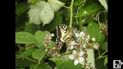 Swallowtail Feeding (Magic Moments by Pippa) Tags: british nature nikon p900 macro closeup insects butterflies swallowtail butterfly norfolk strumpshaw fen video slowmotion rspb wildlife