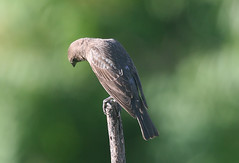 Northern rough-winged swallow, in Staten Island, New York, USA. June, 2017 (Tom Turner - NYC) Tags: swallow roughwingedswallow northernroughwingedswallow bird nature wildlife winged feathered tomturner statenisland newyork nyc bigapple usa unitedstates perched fortwadsworth brown