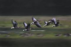 Grå gæs (Mikkelmusiker) Tags: grå gæs goose geese grey denmark nordic bird flying panning nature wildlife game summer bornholm udkæret canon eos 7d mark ii ef100400mm f4556l is usm 14x