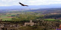 Ucero (santiagolopezpastor) Tags: espagne españa spain castilla castillayleón soria provinciadesoria castillo castle chateaux buitre vulture bird medieval middleages