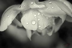 peony (jecate) Tags: flower bloom blossom plant peony naturescenes paeonia macro waterdroplet rain naturetherapy