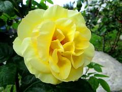 You're like the sun in the party .. (Exposure garden) (graziamariapaolaspinella) Tags: rosa giallo giardino piante rose yellow garden plants