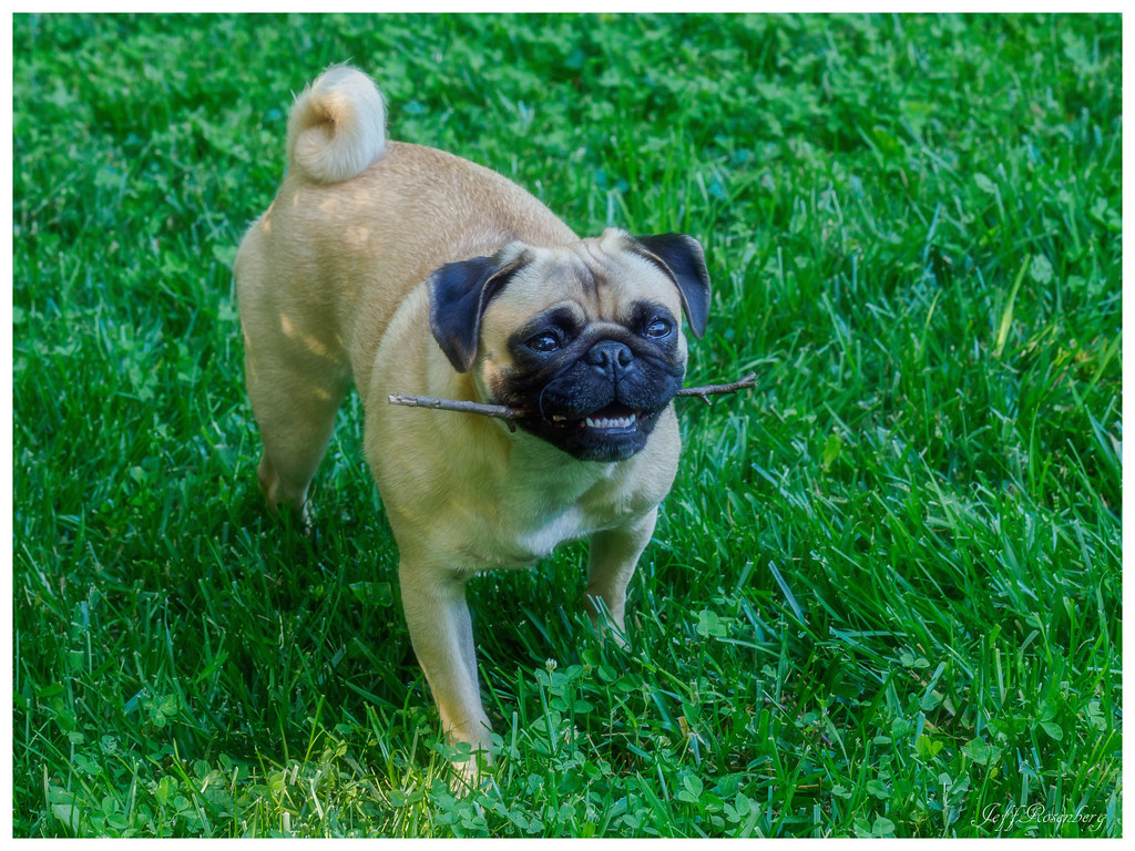 pug research paper Get help with all developing abstract research paper aspects of your assignment, from research research paper power point to pay someone to write my paper for me :: we have the ability pug.