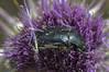Aethiessa floralis (zabuka-zar) Tags: coleoptera cetoniidae scarabaeoidea
