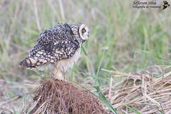mocho-dos-banhados / Asio flammeus - Americana - 01-09-12 (Jefferson Silva) Tags: wildlife aves birds brazilian owl asio flammeus asioflammeus